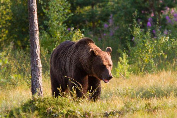 В лесах под Кобрином появился бурый медведь