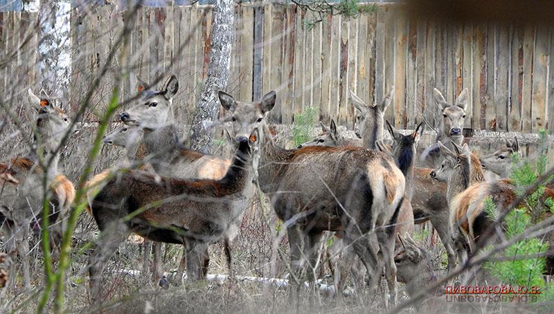 Посмотрите, какие красавцы! 37 благородных оленей были выпущены в вольеры в Кобринском районе. ФОТО